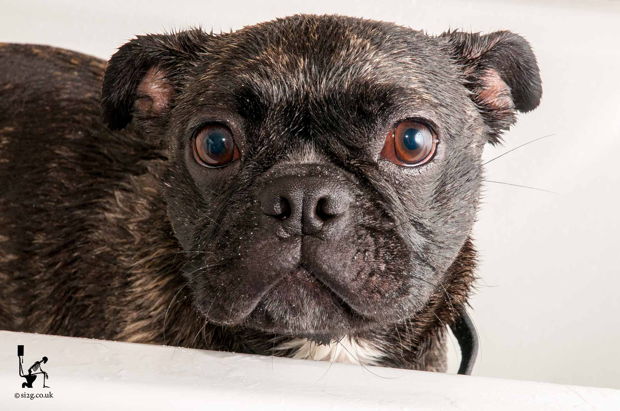 Naughty Doggy - Still, to this day, the naughtiest little doggy in the world - EVER!  This cross between a Pug and a Boston Terrier, often known as a Bug, stands in a bath tub after having a bath.