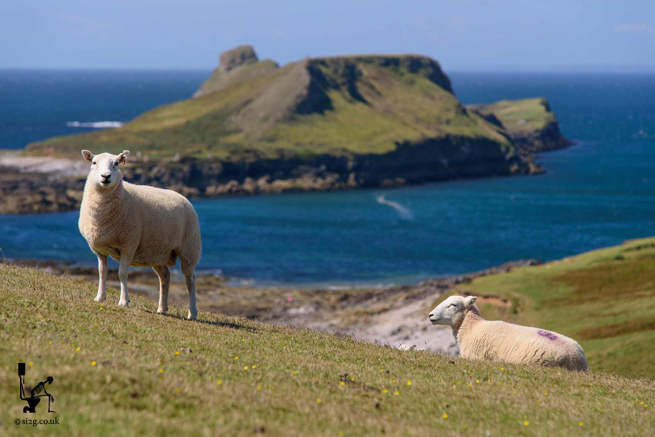 Sheep Enjoying Worms Head - They say you